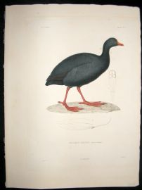 Remond after Prevost Voyage de la Bonite C1850 Folio HC Bird Print. Giant Coot